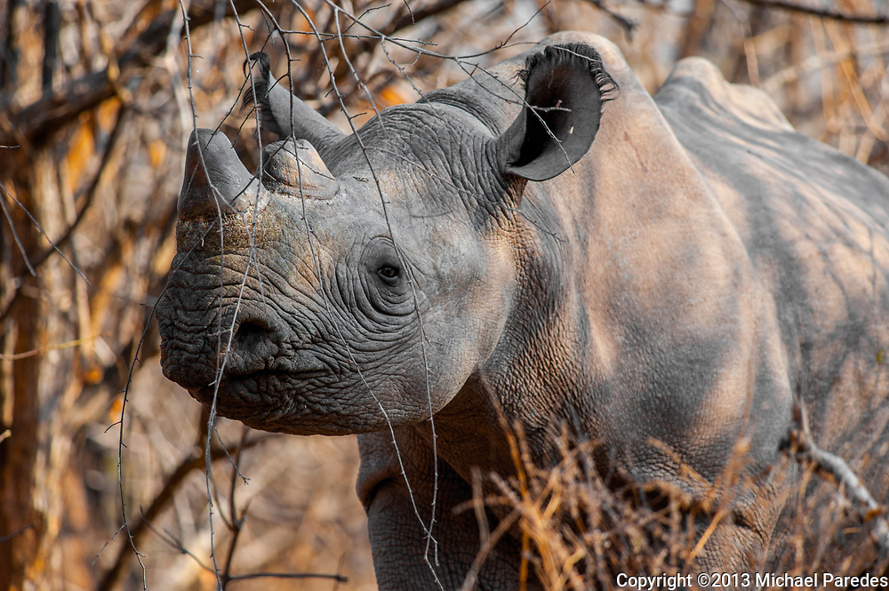 Tracking Black Rhinos at Lake Kariba, Zimbabwe finally paid off. Any time spent with these rare, prehistoric-looking creatures is a privilege. Poaching in  2012 reached an unsustainable level, and these critically endangered titans of the natural world need immediate help to survive.