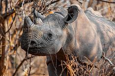 AFRICA Rhinos
