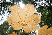 Devils Club leaf, Selkirk Mountains, Idaho.