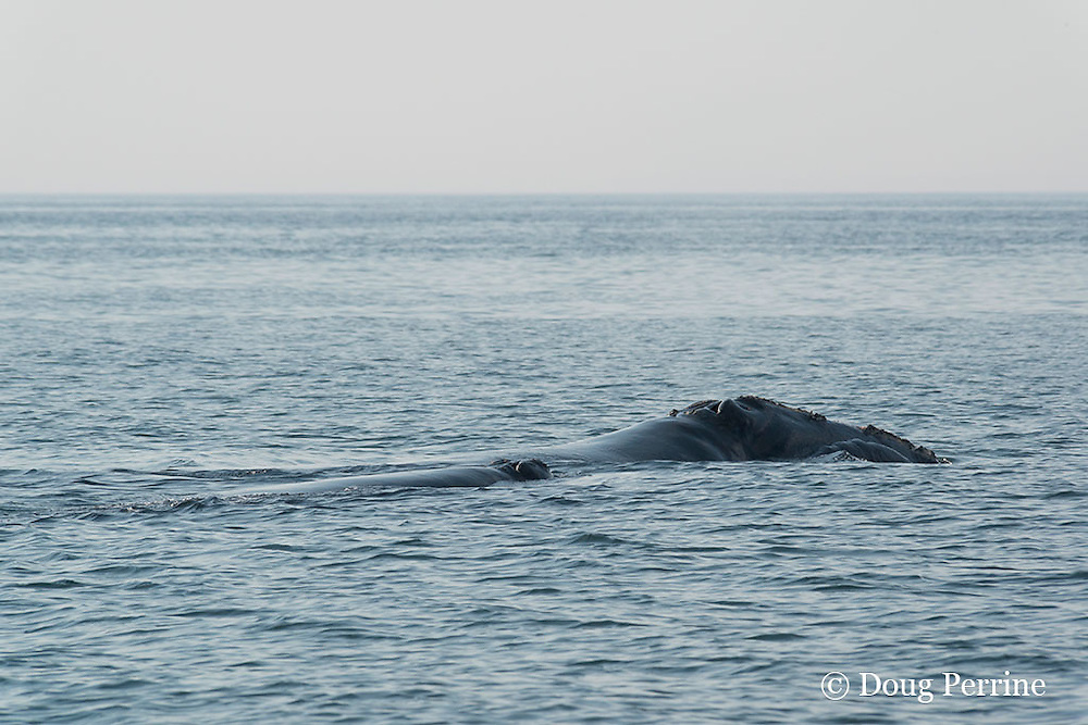North Atlantic right whales ( Critically Endangered Species ), Eubalaena glacialis, mother and calf, Grand Manan Basin, Bay of Fundy, New Brunswick, Canada