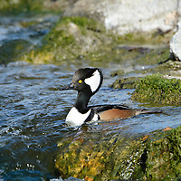 The hooded merganser is the smallest of the mergansers.  It nests in holes in trees.