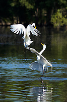 I just recently photographed this springtime display of dancing great egrets which are actually fighting on a lake.