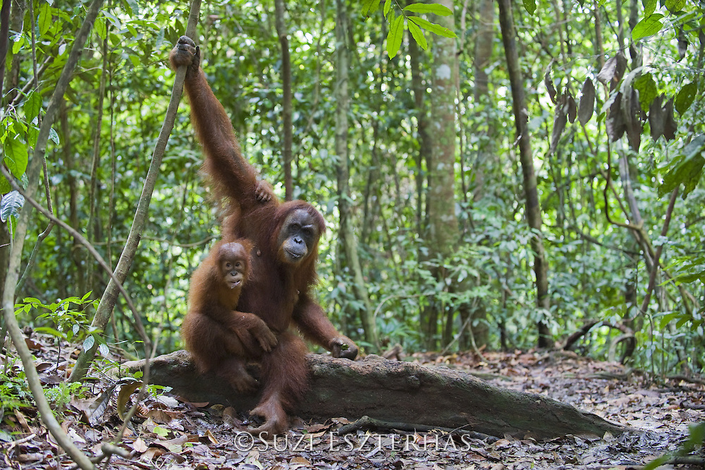 Sumatran Orangutan<br /> Pongo abelii<br /> Mother and 2.5 year old baby<br /> North Sumatra, Indonesia<br /> *Critically Endangered