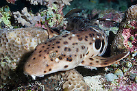 This shark has only recently been described.  It uses its fins to walk across the reef at night, hiding away in holes in the corals during the day.  The reefs of Raja Ampat are some of the most diverse in teh world and new species are discovered very year.