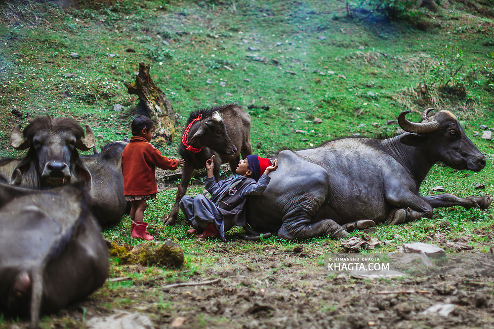Kids of Forest Nomads known as Van Gujjar playing with a buffalo calf in the forests of Chaupal region of Shimla District in Himachal Pradesh, India
