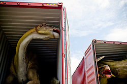 "Apr 25, 2012: Model Apatosaurus (L) and Ankylosaurus (R) dinosaurs are unloaded from trailers and are being assembled and set in place at Field Station: Dinosaurs in Secaucus, NJ over the next 12 days. The dinosaur theme park is set to open in late May and will be one of the only permanent dinosaur exhibits in the country to use advanced robotics to make the beasts ""move"" in response to visitors. Credit: Rob Bennett for The Wall Street Journal Slug:"