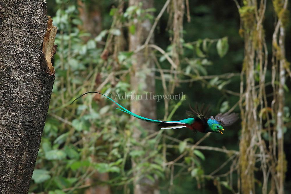 Male resplendant quetzal (Pharomachrus mocinno) flying from nest in cloud forest, San Gerardo de Dota, Cerro de la Muerte, Costa Rica.