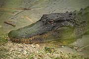 American alligator (Alligator mississippiensis) in Everglades National Park, Florida.