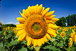 Sunflowers growing in the south of France<br /> <br /> (c) Andrew Wilson | Edinburgh Elite media