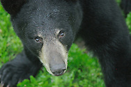 Black Bear looking up into the camera. Photographed from above. Standing on grass. Close up of bear's face.