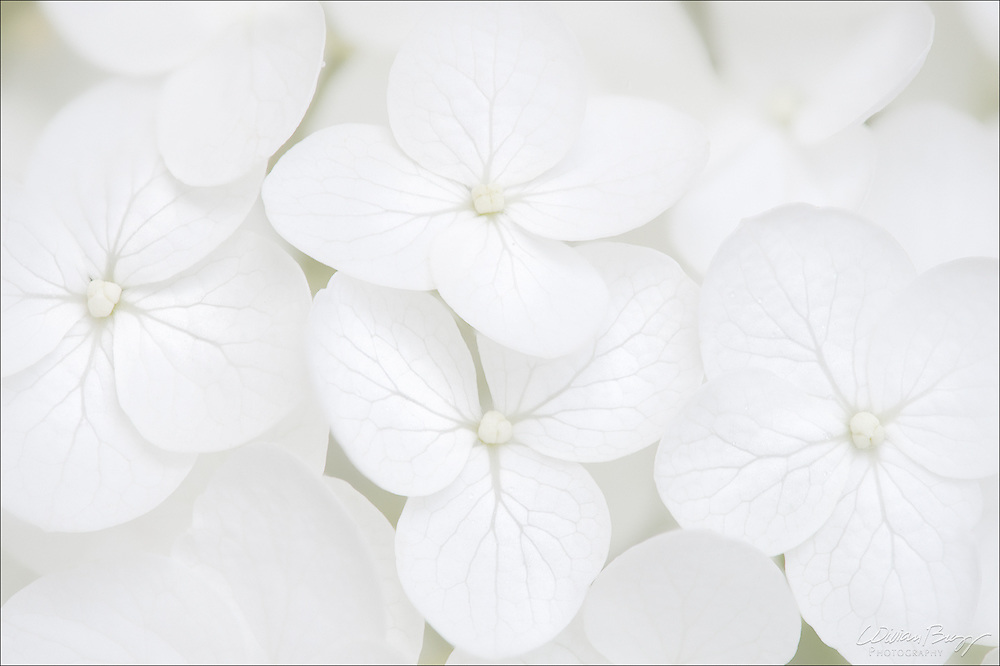 Soft macro of a White Hydrangea