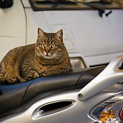 Tabby cat on motor-scooter, Pisa, Tuscany, Italy