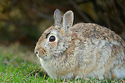 Eastern cottontail rabbit (Sylvilagus floridanus) on lawn<br /> Winnipeg<br /> Manitoba<br /> Canada