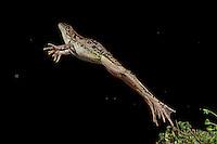 Rio Grande Leopard Frog, Rana (Lithobates) berlandieri;<br /> Photographer:  Hector Astorga<br /> Property:  Santa Clara Ranch / Beto &amp; Clare Gutierrez <br /> Starr County