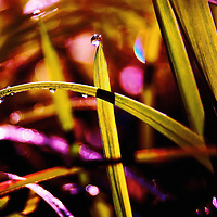 Nature's Diamonds - Close up of stems of grass in a field