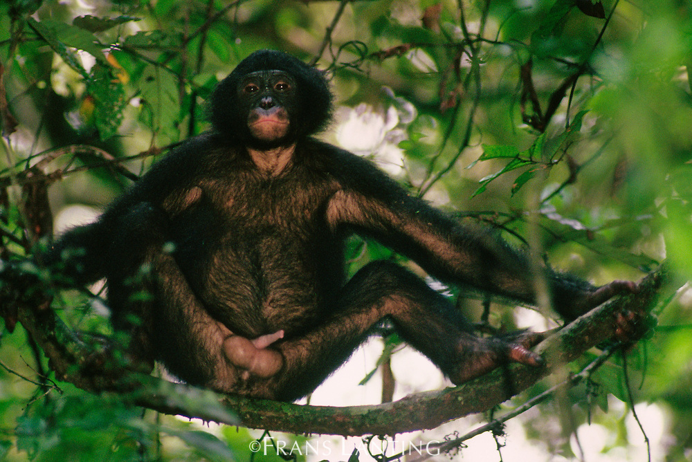 Bonobo male in tree, Pan Paniscus, Wamba, Democratic Republic of Congo