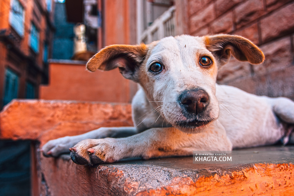 Portrait of a puppy with big eyes from Jodhpur.