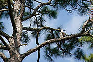 An Eagle showing some wildlife on the golf course<br /> The PLAYERS Championship, Sawgrass, TPC Stadium GC, Florida, USA<br /> <br /> <br /> Pictures Credit: Mark Newcombe/visionsingolf.com