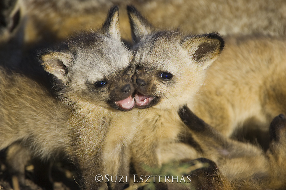 Bat-eared fox<br /> Otocyon megalotis<br /> Playful 4 week old pup(s)<br /> Masai Mara Reserve, Kenya