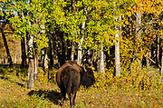 Plains bison (Bison bison bison)  is the largest land animal in North America. <br />