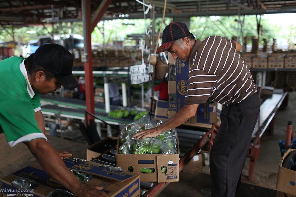 Ediberto Castillo (right), member of COOBANA, checks and closes fair-trade banana boxes before they are taken to a loading zone. COOBANA, Finca 51, Changuinola, Bocas del Toro, Panamá. September 3, 2012.