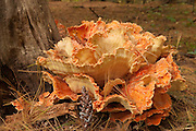 Giant orange-colored fungus on a forest floor in Wakefield, Massachusetts.
