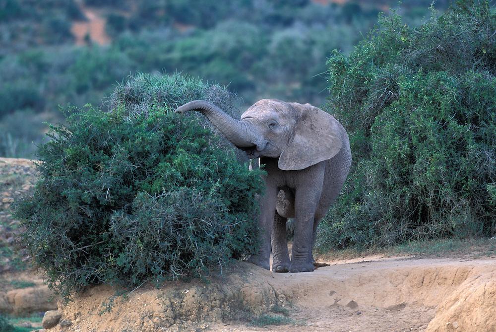South Africa, Addo Elephant National Park, Elephant (Loxodonta africana) feeds on acacia branches