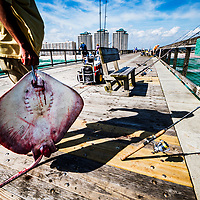 Fishing from purpose-built docks is common in Florida. Usually when a stingray is caught and hauled up in a dip net, it is thrown back. On this occasion the ray will be chopped up for shark fishing bait.