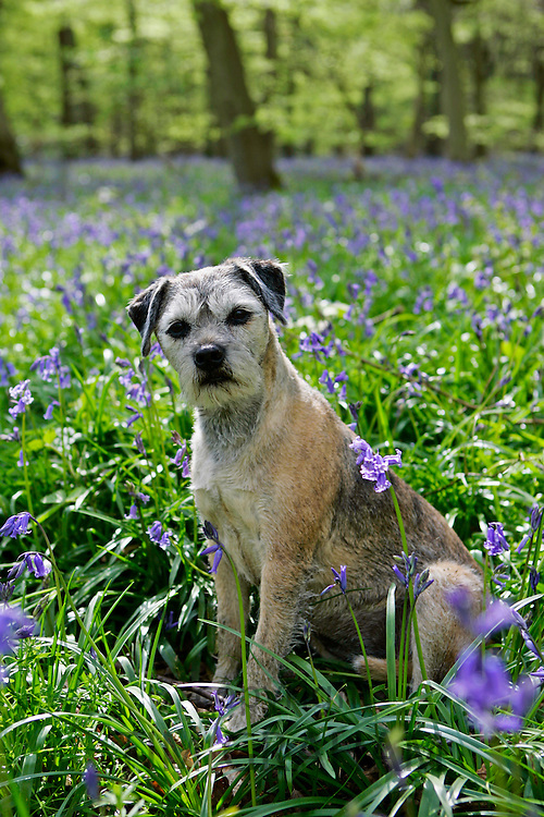 Jess, Border Terrier dog among bluebells in  a wood in Oxfordshire, England