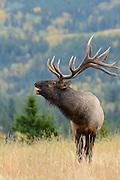 Bugling Bull Elk - Cervus elaphus - Northern Rockies