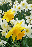 Daffodils blooming at Green Lake on March 18, 2016 in Seattle, Washington. Shot on Samsung Galaxy Note 5 SmartPhone.