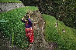 A nine-months pregnant Niruta, 14, carries grass to her family's farm for the animals to graze on in Kagati Village, Kathmandu Valley, Nepal on Jan. 30, 2007. Niruta moved in with the family of Durga, 17, and became pregnant when they were only engaged. In some circles of the more socially open Newar people, this is permissible. The harmful traditional practice of early marriage common in Nepal. The Kagati village, a Newar community, is most well known for its propensity towards this practice. Many Hindu families believe blessings will come upon them if marry off their girls before their first menstruation.