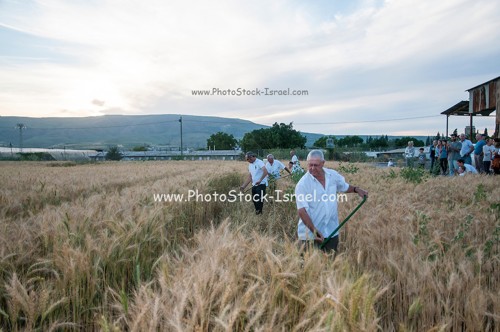 Man uses a scythe to harvest wheat during the spring harvest celebration. Photographed at Kibbutz Ashdot Yaacov, Israel