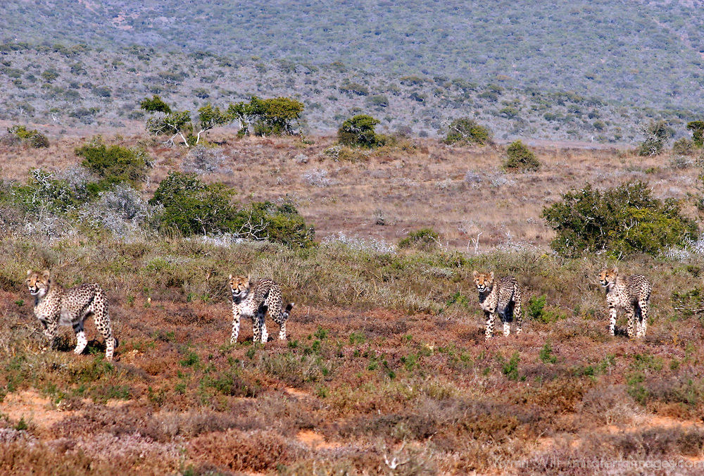Africa, South Africa, Kwandwe. Young cheetahs appear from hills to feed on kill their mother has taken down.
