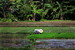 March 22, 2019 - Aceh Utara, Aceh, Indonesia - Farmers plant rice seeds in the North Aceh rice fields, Aceh Province, Indonesia, Friday, March 22, 2019. (Credit Image: © Aziz Zakaria/Pacific Press via ZUMA Wire)