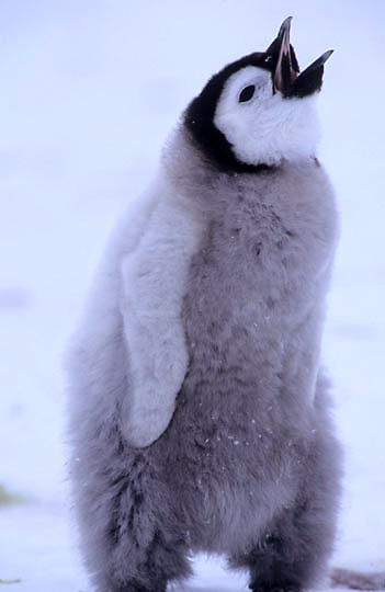 Emperor Penguin, (Aptenodytes forsteri) Chick cries for food.Riiser-Larsen ice shelf. Antarctica.