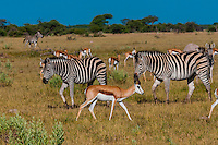 Springbok and zebras, Nxai Pan National Park, Botswana.