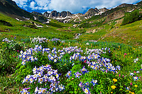 Blue columbine wildflowers, American Basin, San Juan Mountains (range of the Rocky Mountains), Southwest Colorado USA