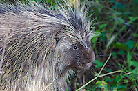 Porcupine portrait in Bartlett Cove in Glacier Bay National Park and Preserve, Alaska.