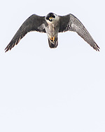 Peregrine falcon in hunting  flight looking down at potential prey, © 2019 David A. Ponton