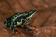 Harlequin frog (Atelopus spumarius)<br /> CAPTIVE<br /> Amazon region of<br /> ECUADOR. South America<br /> RANGE: Colombia, Ecuador, Brazil, French Guiana, Guyana, Peru, Suriname<br /> Amazon Basin<br /> Vulnerable<br /> Not recorded in E cuador since 1994