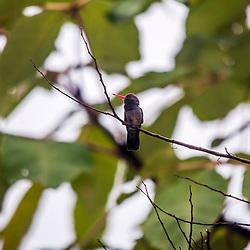 """""""Beija-flor (Trochilidae) fotografado em Cariacica, Espírito Santo -  Sudeste do Brasil. Bioma Mata Atlântica. Registro feito em 2012.<br /> <br /> <br /> <br /> ENGLISH: Hummingbird photographed in the city of Cariacica, Espírito Santo - Southeast of Brazil. Atlantic Forest Biome. Picture made in 2012."""""""