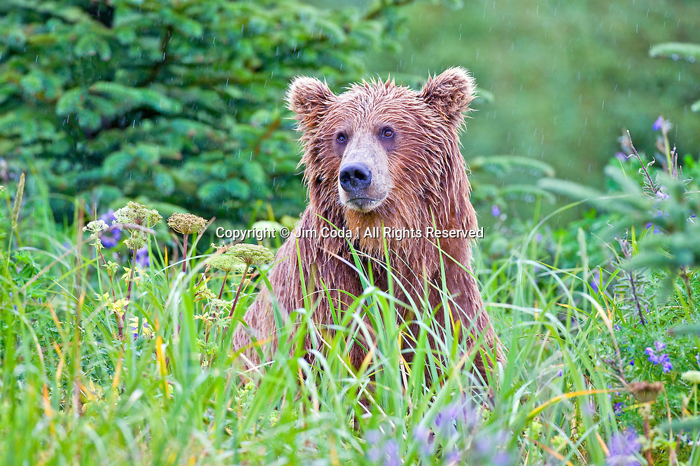 A brown bear (Ursus arctos) stares out from the lush, wet foliage near Silver Salmon Creek.
