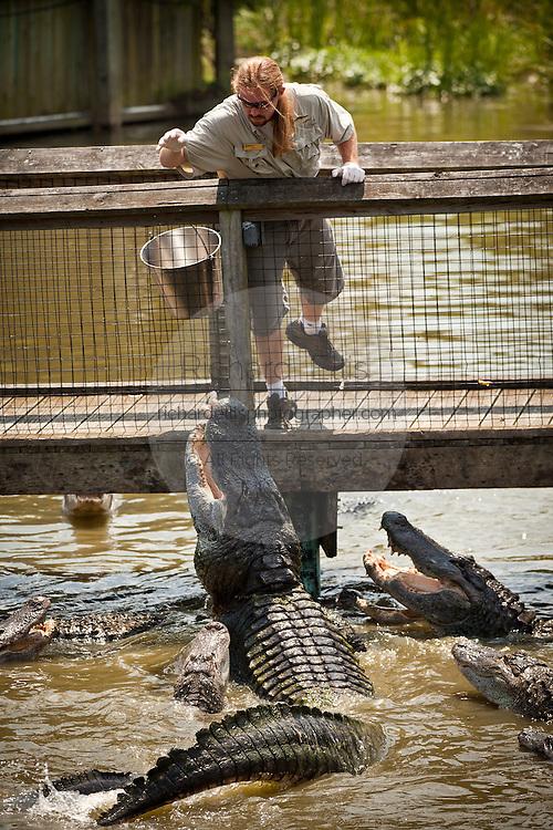 A trainer feeds American alligators (Alligator mississipiensis) at Alligator Adventure in Myrtle Beach, SC.
