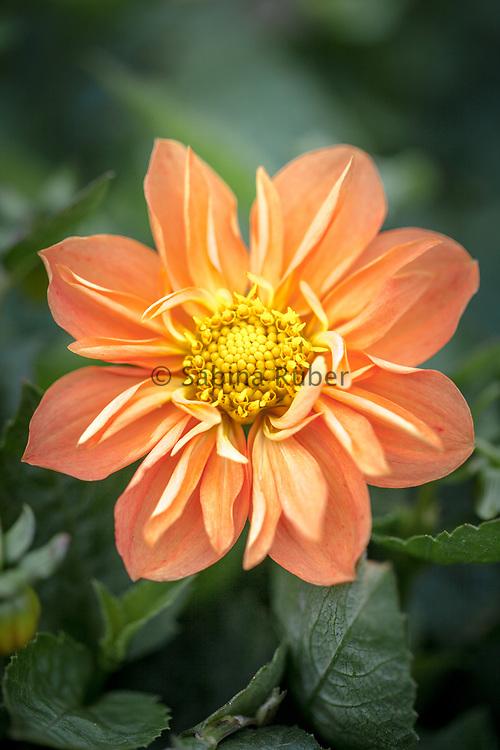 Dahlia 'Sunny Reggae' - collerette dahlia
