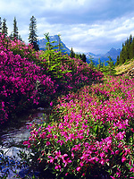 I used my large format camera to take photos of wildflowers in Banff National Park in Canada. These bright pink flowers along a stream contrast nicely against the distant mountains.
