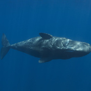 An adult female sperm whale swimming parallel to the surface while buzzing me with sonar