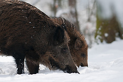 Wildw zwijnen in sneeuw; Wild boars in snow