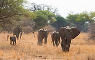 A family of elephants walking in Tarangire National Park, Manyara Region, Tanzania, Africa