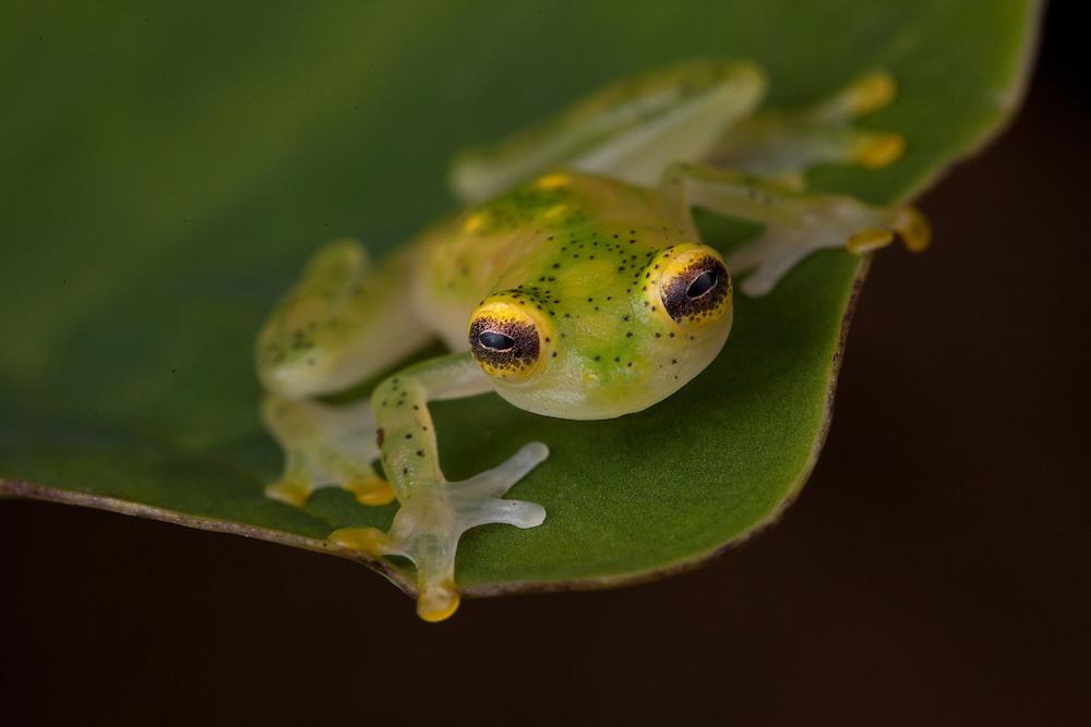 Glass frog, Hyalinobatrachium ruedai, in the Choco, Colombia
